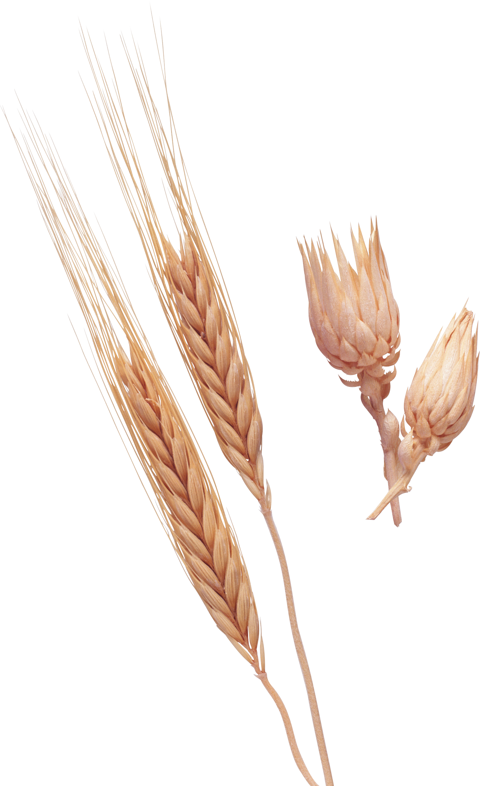 Wheat Png Image Purepng - Dinkel Wheat Clipart (1571x2572), Png Download