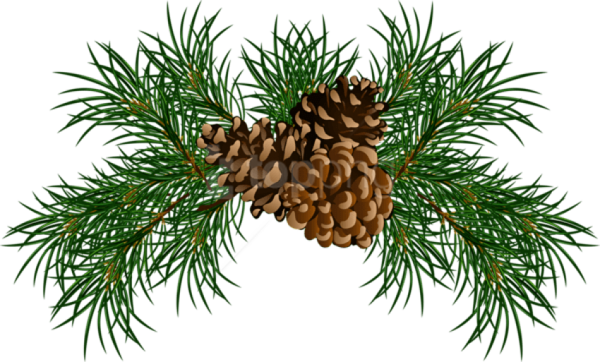 Free Png Pine Branches With Pine Cones Png Images Transparent - Pine Needle Clip Art (850x513), Png Download