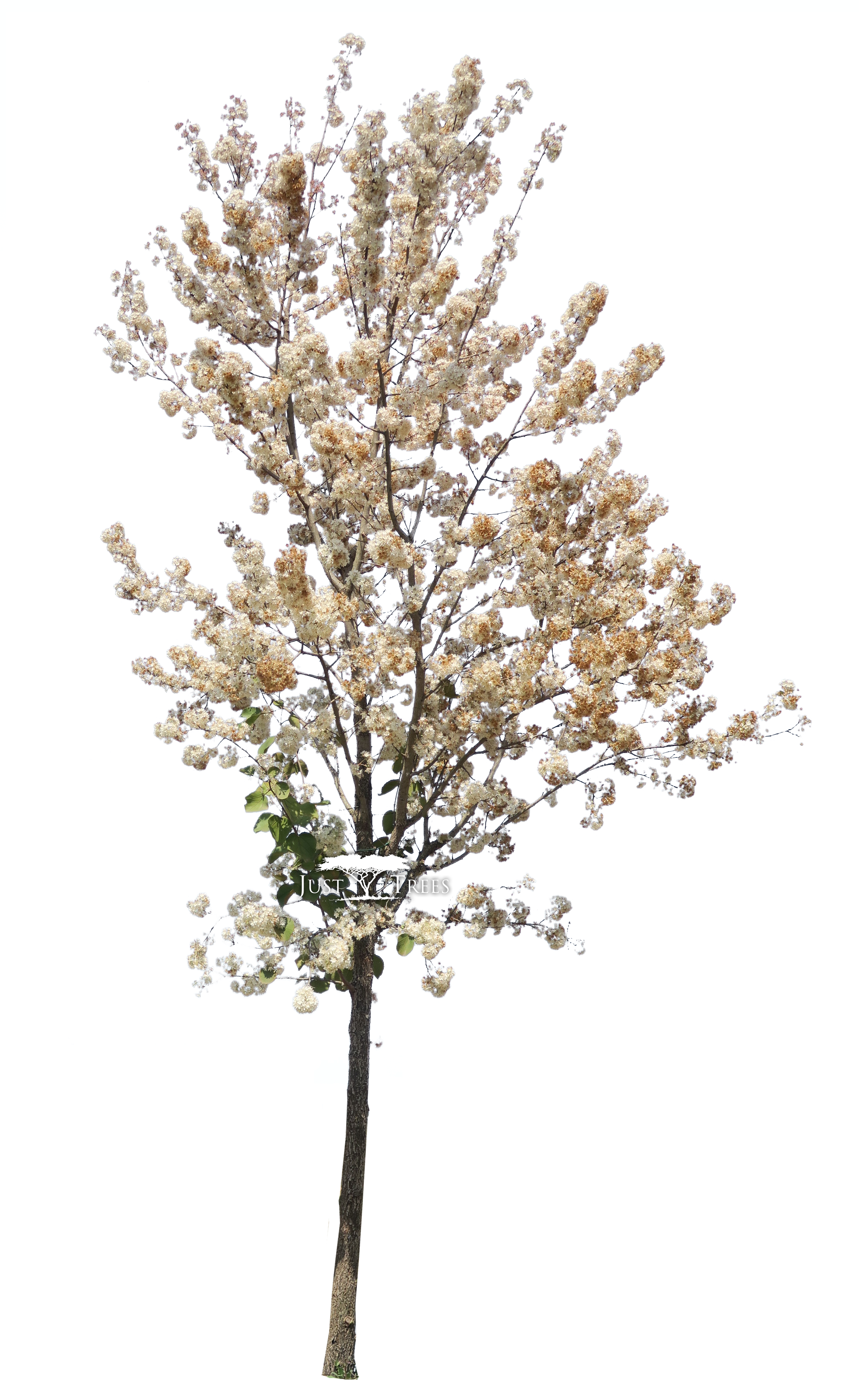 Dombeya Rotundifolia - Tree Photoshop Spring Clipart (2302x3888), Png Download