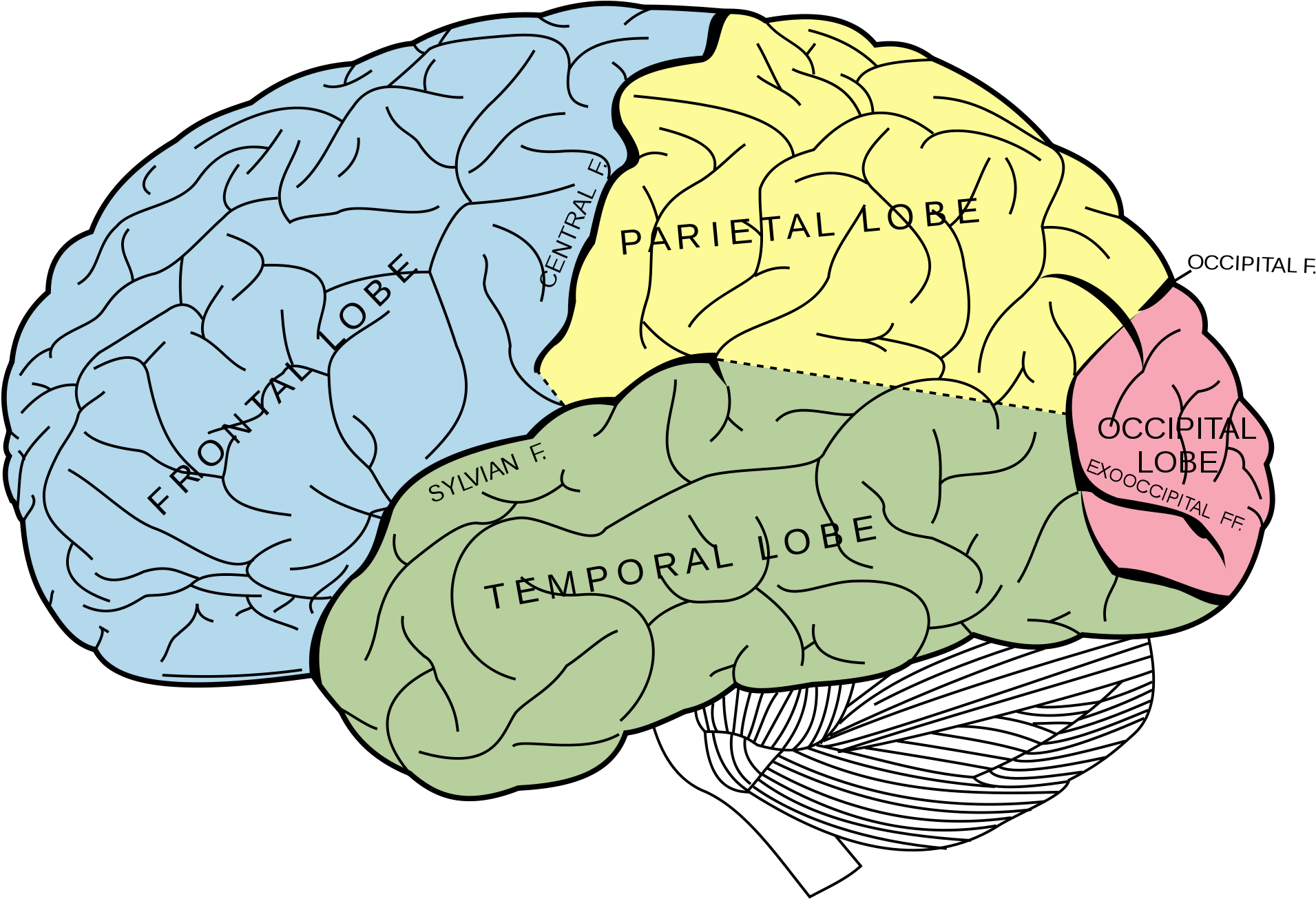 Learn Fascinating Studies About The Brain, Consciousness - Lobes Of The Brain Unlabeled Clipart (800x571), Png Download