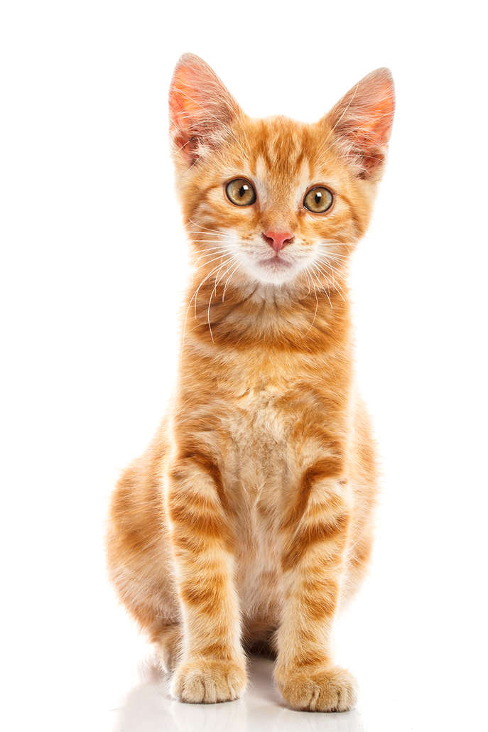 Cute Baby Cat Png - Orange Cat Transparent Background ... (687 x 1030 Pixel)
