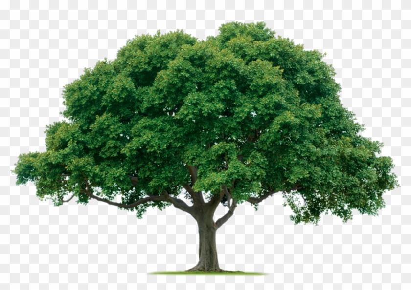Tree Png Photos - Tree Png, Transparent Png #6076