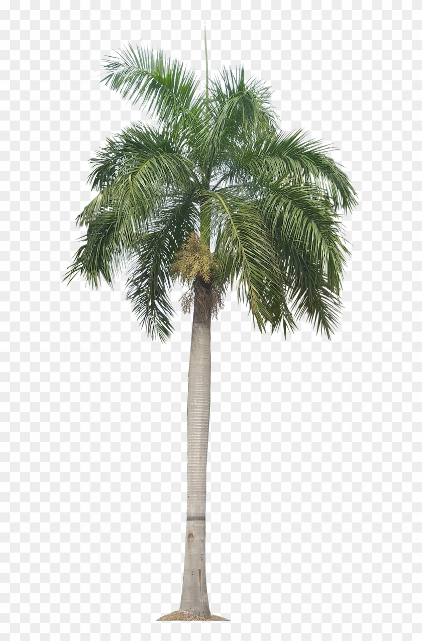 Palm Tree Png, Palm Trees, Plant Pictures, Plant Images, - Transparent Background Palm Tree, Png Download #7917
