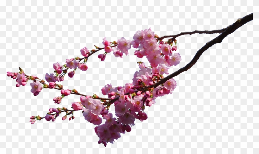 Branches Png - Cherry Blossom Transparent Background Clipart #11270