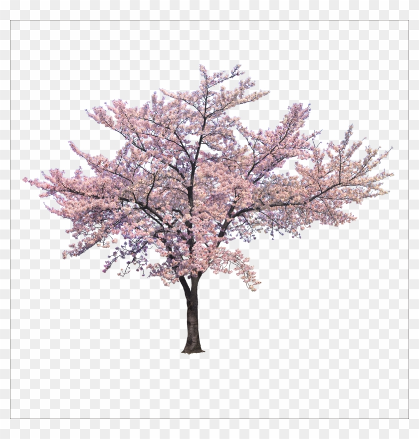 Download Blossom Cherry Tree Trees Branch Png File - Cherry Blossom Tree Png Clipart #12515