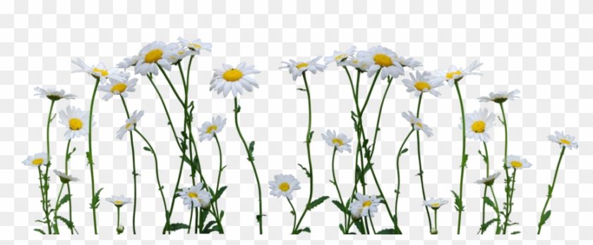 Daisies Png - รูป ตกแต่ง Png Clipart #100366