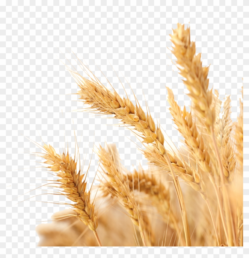 Harvest Wheat Crop Free Png Hq Clipart - Transparent Background Wheat Png #1013057