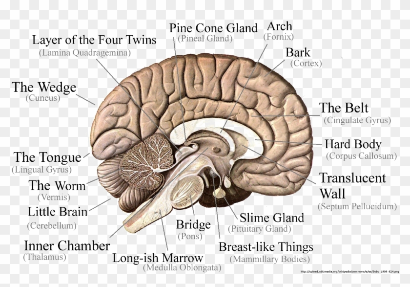 Brain Png Image - Part Of The Brain Controls Long Term Memory Clipart #1036541