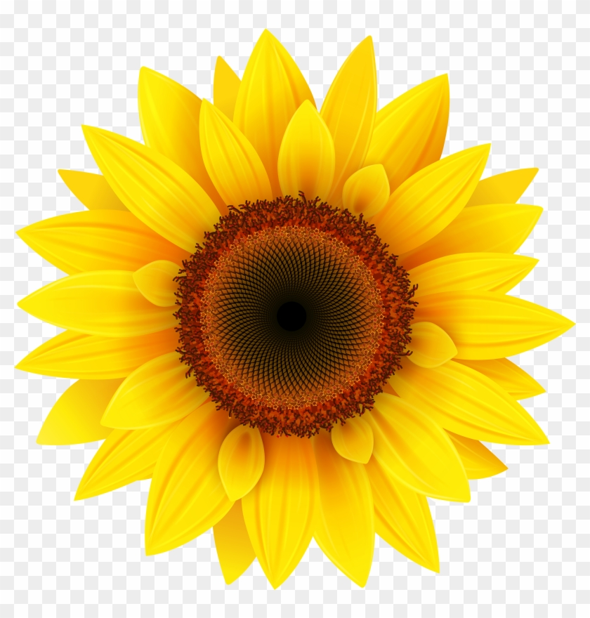 Sunflower Png Hd Sunflower Png Images Transpa Background - Sunflower Images Hd Png, Transparent Png #117803