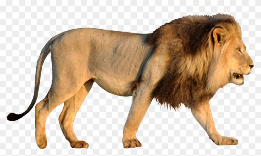 Lion - Psd Lion Hd Png Clipart #117879