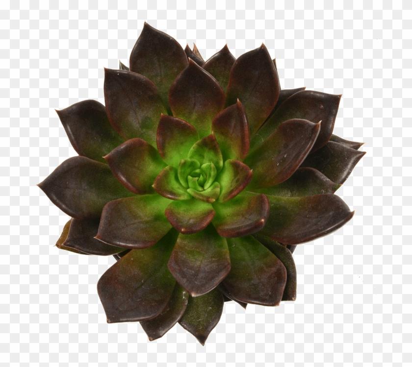 Echeveria Black Prince Plants And Cacti - Succulent Plant Clipart #1208787