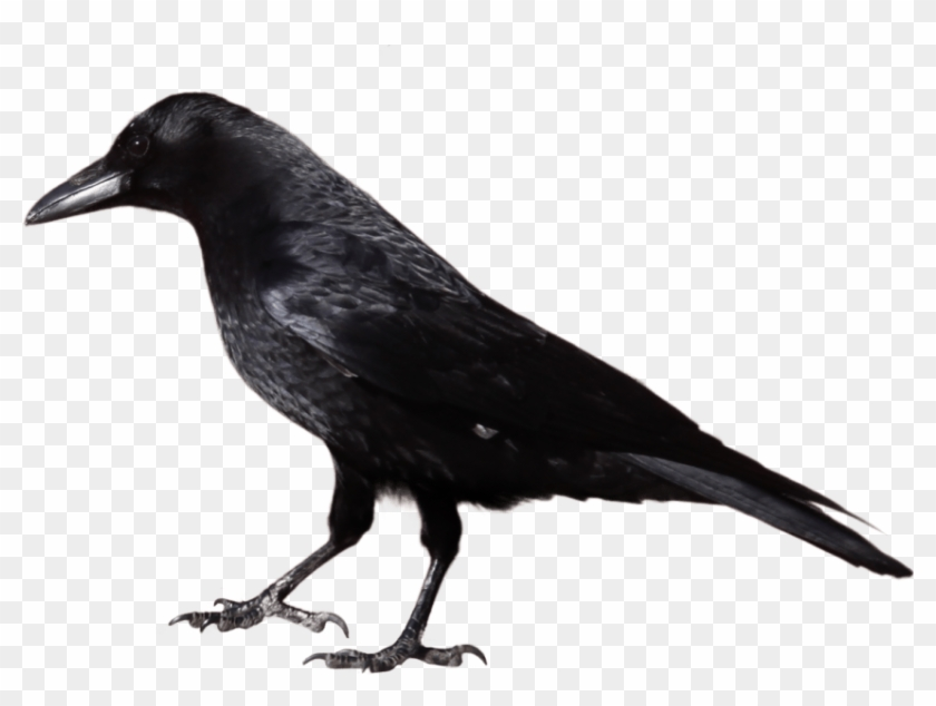 Free Png Download Crow Png Images Background Png Images - Black And White Image Of Crow Clipart #1211690