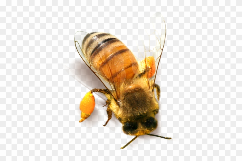 Bee Png Clipart Honey Bee Png Transparent Png 1228807 Pikpng This high quality free png image without any background is about fly, insect, honey, bee and freepng is a free to use png gallery where you can download high quality transparent png images. bee png clipart honey bee png