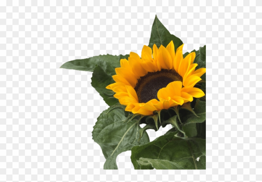 Download Free Png Download Sunflower Png Tumblr Png Images ...