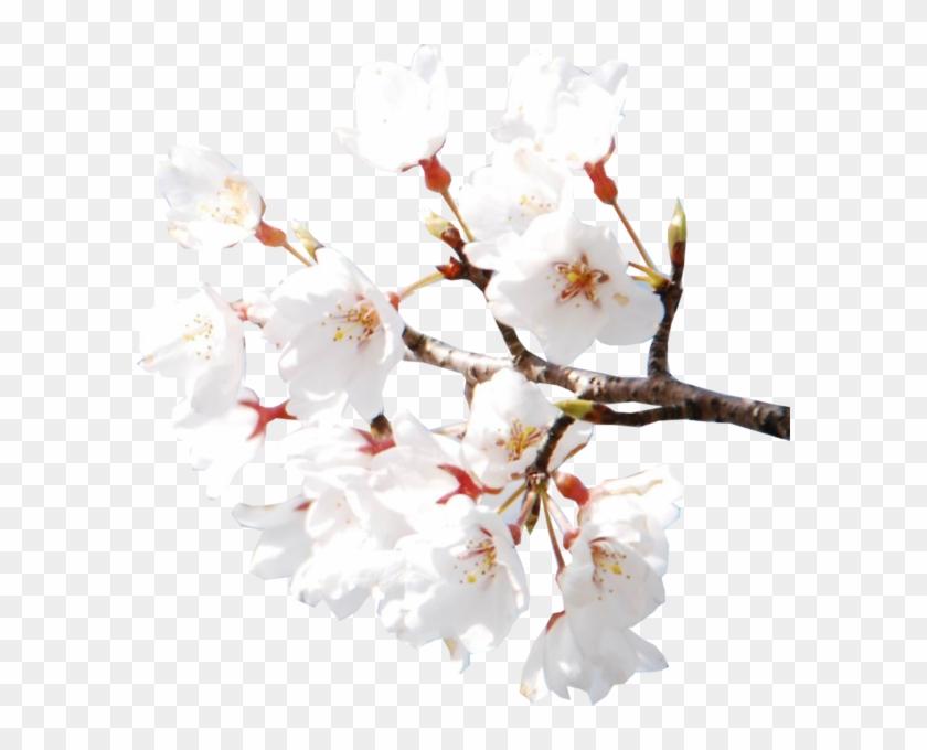 Cherry Blossoms - White Cherry Blossom Flower Aesthetic Clipart #1268082