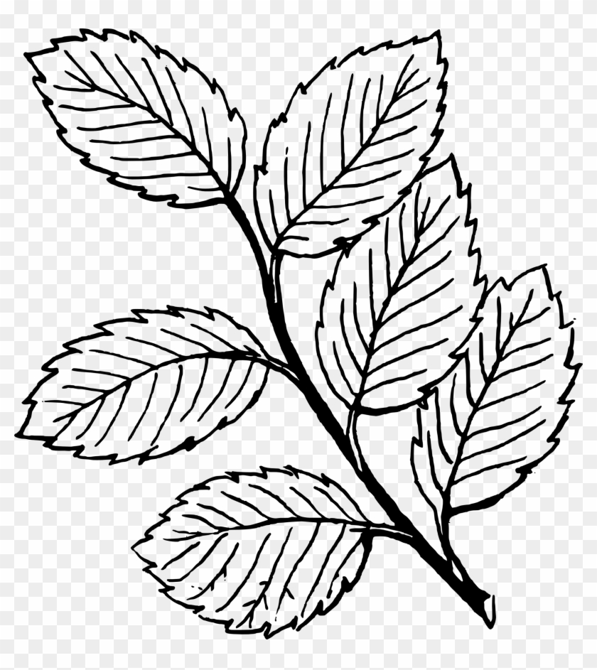 Clipart Rose Leaf Drawings Of Rose Leaves Png Download 130241 Pikpng