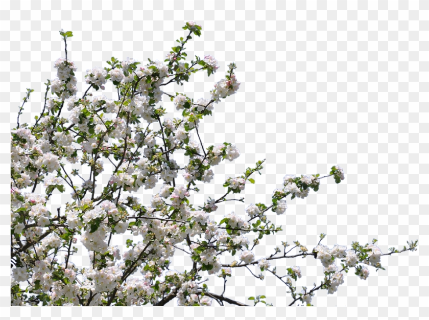 Tree, Flowers, Cherry, Apple, Isolated, Png - Tree With Flowers Png Clipart #134329