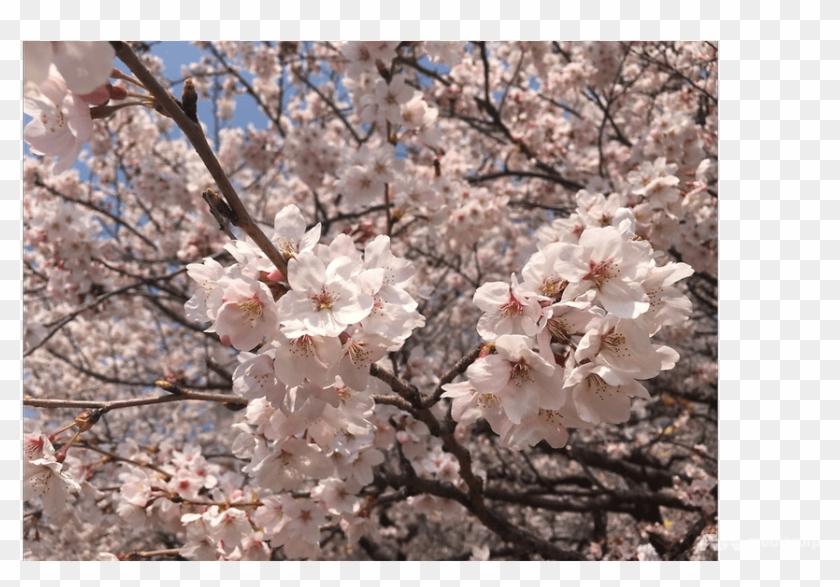 Cherry Blossom Clipart #135496