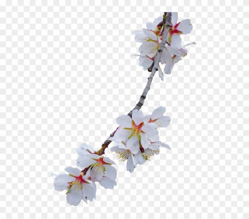 Branch, Almond Tree, Flowery Branch - Flower Branch No Background Clipart #135706