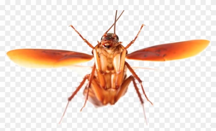 Roach Transparent Background Png - Cockroach Fly Clipart #144210