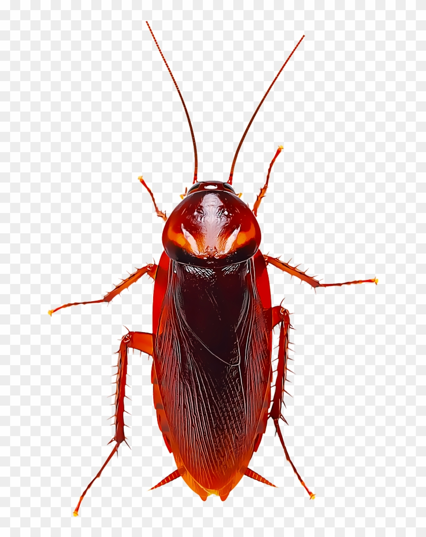 Several Species Of Cockroaches Are Found In Different - Cockroach Hd Clipart #144255