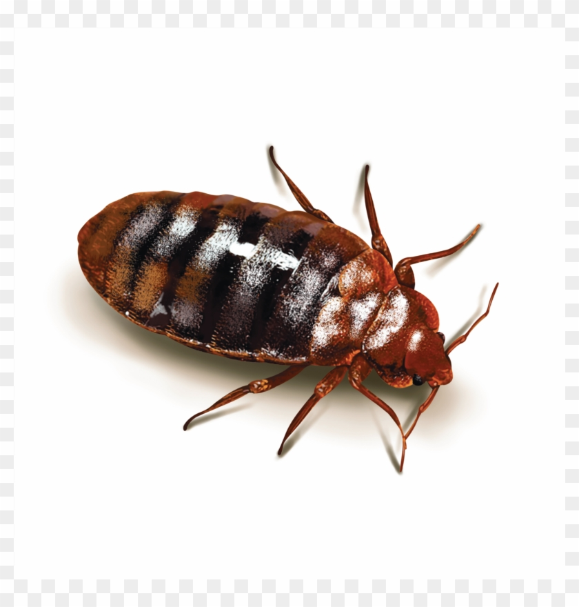 Cockroaches - Bed Bugs Clipart #144465