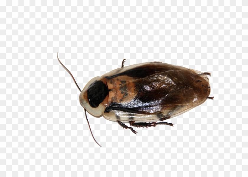Cockroach - Cafard Transparent Clipart #144747