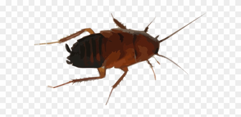 Cockroach Drawing Clipart #145057