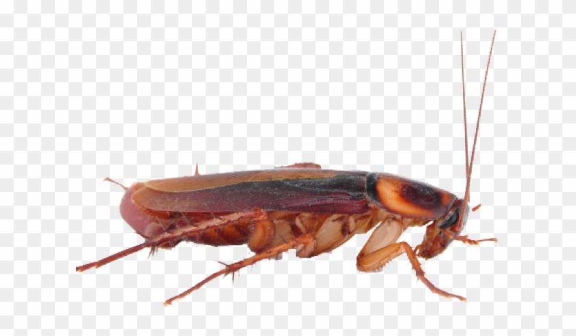 Cockroach Clipart Transparent - Cockroach Png Transparent Background #145137