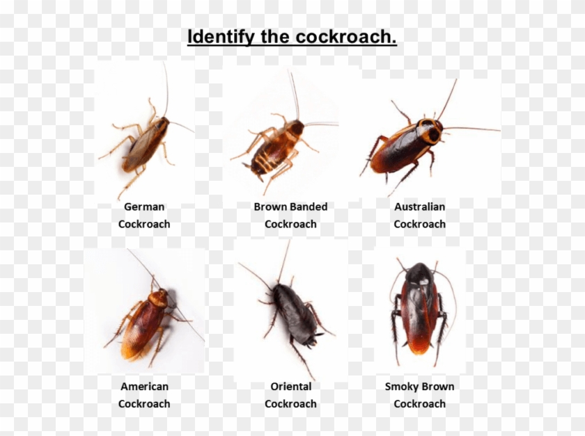 Please Call Out Office To Discuss The Cockroach Issue - Cockroach Clipart #145206