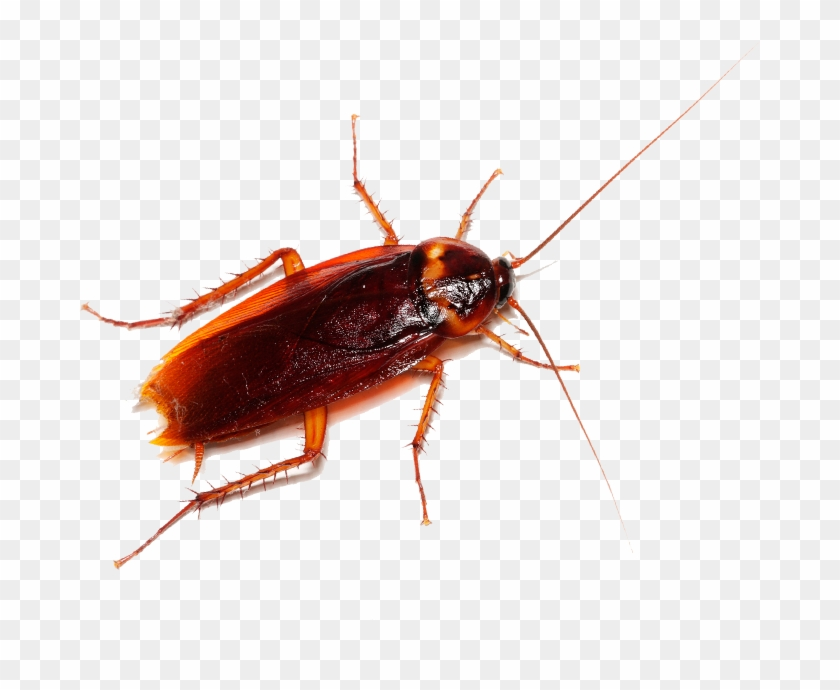 To Learn More About Cockroach Pest Control And How - Cockroach South Carolina Clipart #145285