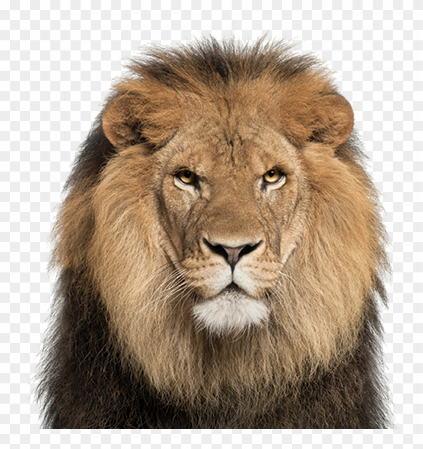 Lion Face White Background Png Download Clipart 1495755 Pikpng