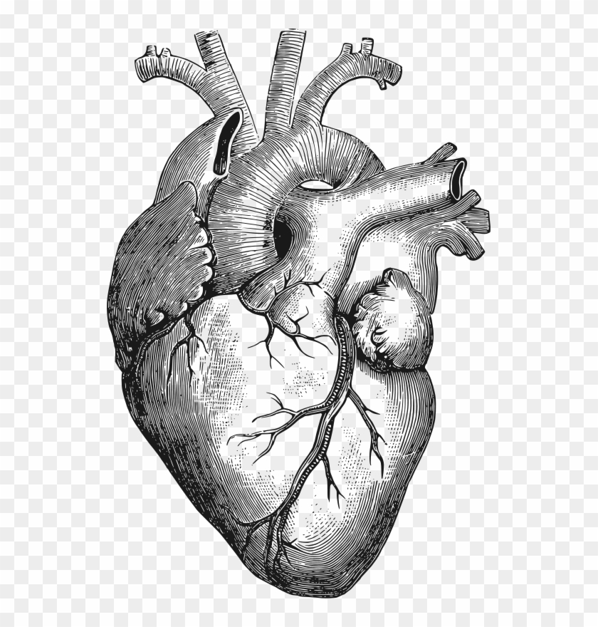 Anatomical Heart By Gustavorezende - Anatomical Heart Drawing Clipart #153315