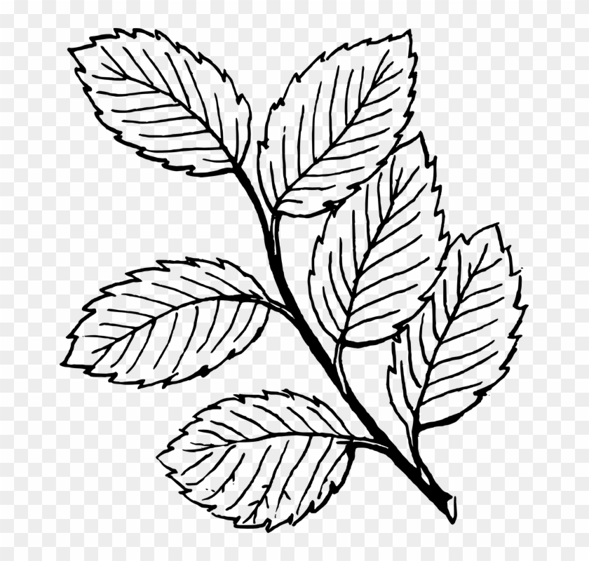 Fall Tree Clipart Black And White Vines - Leaves Clipart Black And White - Png Download #1520414