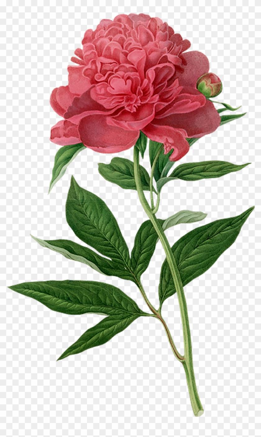 Peony Botanical Illustration Botany Printmaking Printing - Flower Illustration Botanical Clipart #1663898