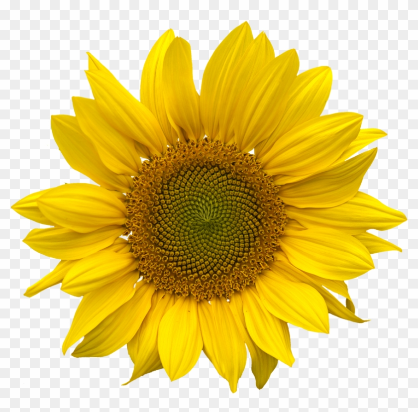 Sunflower Png Aesthetic Sunflower Png Clipart 176954 Pikpng