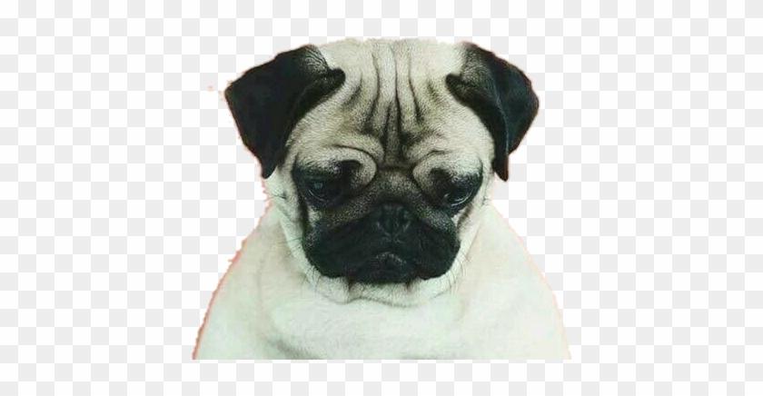 Iphone Wallpaper Hd Pug Dog Clipart #179195