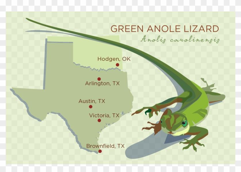 The Ancestors Of The Green Anole Lizard Originated - Green Anole Lizard Texas Clipart #1736451