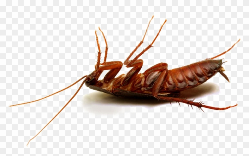 Cockroach Png Hd Photo - Best Pesticide For Cockroaches In Kenya Clipart #1756113