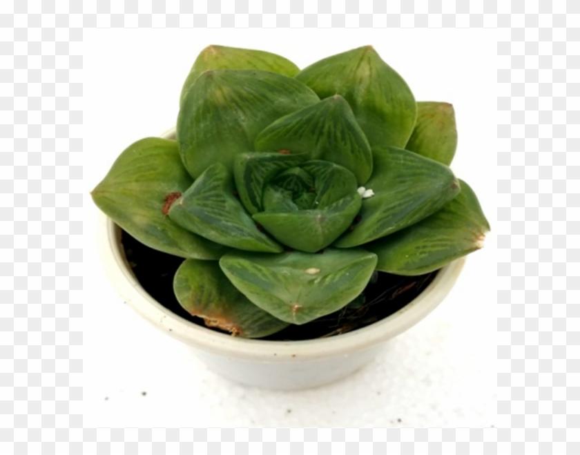 Haworthia Cuspidata Catevala Cuspidata Succulent Plant - Flowerpot Clipart #1808278