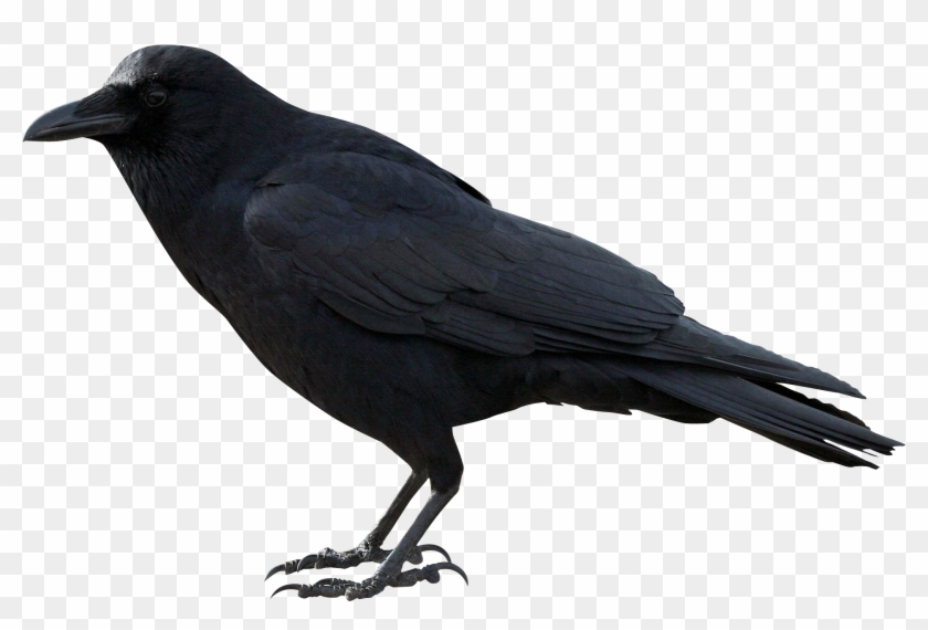 Crow Png Hd - Crow Png Clipart #1811640
