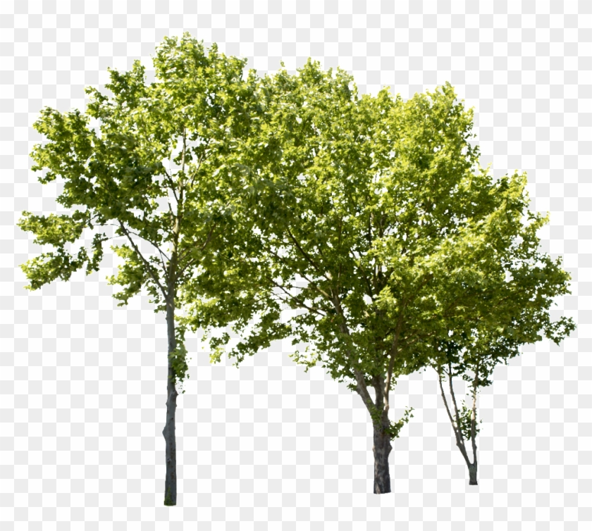 Plane Tree Group Ii - Group Of Trees Png, Transparent Png #1951240