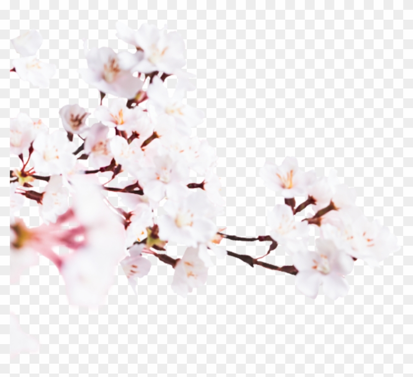 Cherry Blossom , Png Download - Cherry Blossom Clipart #1968467