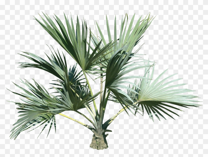 Top Palm Tree - Palm Tree Transparency Png Clipart #28596