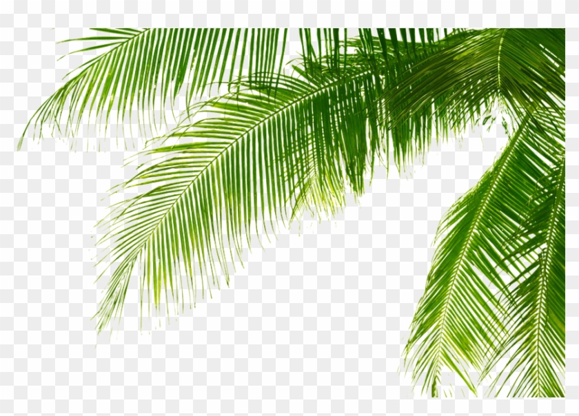 Green Palm Leaves Png Pic - Palm Tree Leaves Png Clipart #28954