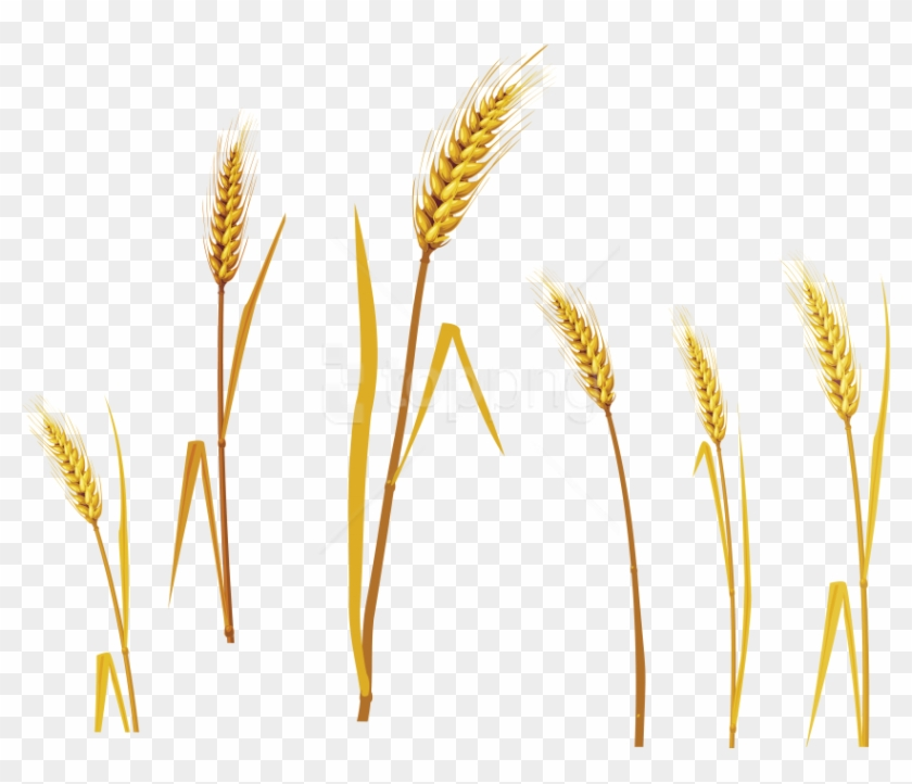 Free Png Wheat Png Images Transparent - Barley Png Clipart #2072505