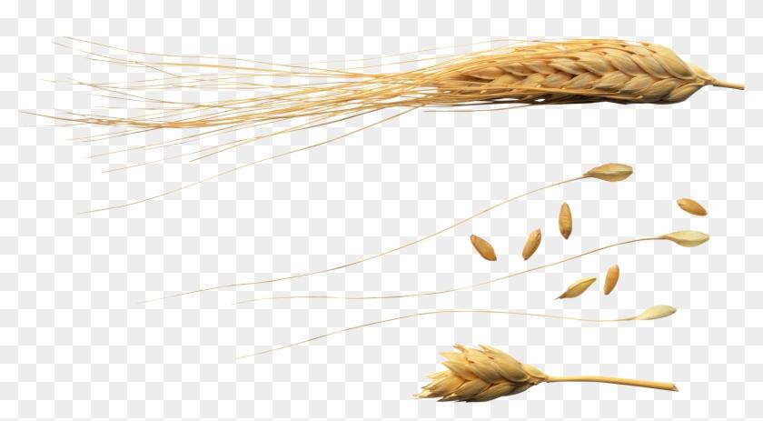 Wheat Png - 1 Grão De Trigo Png Clipart #2072664