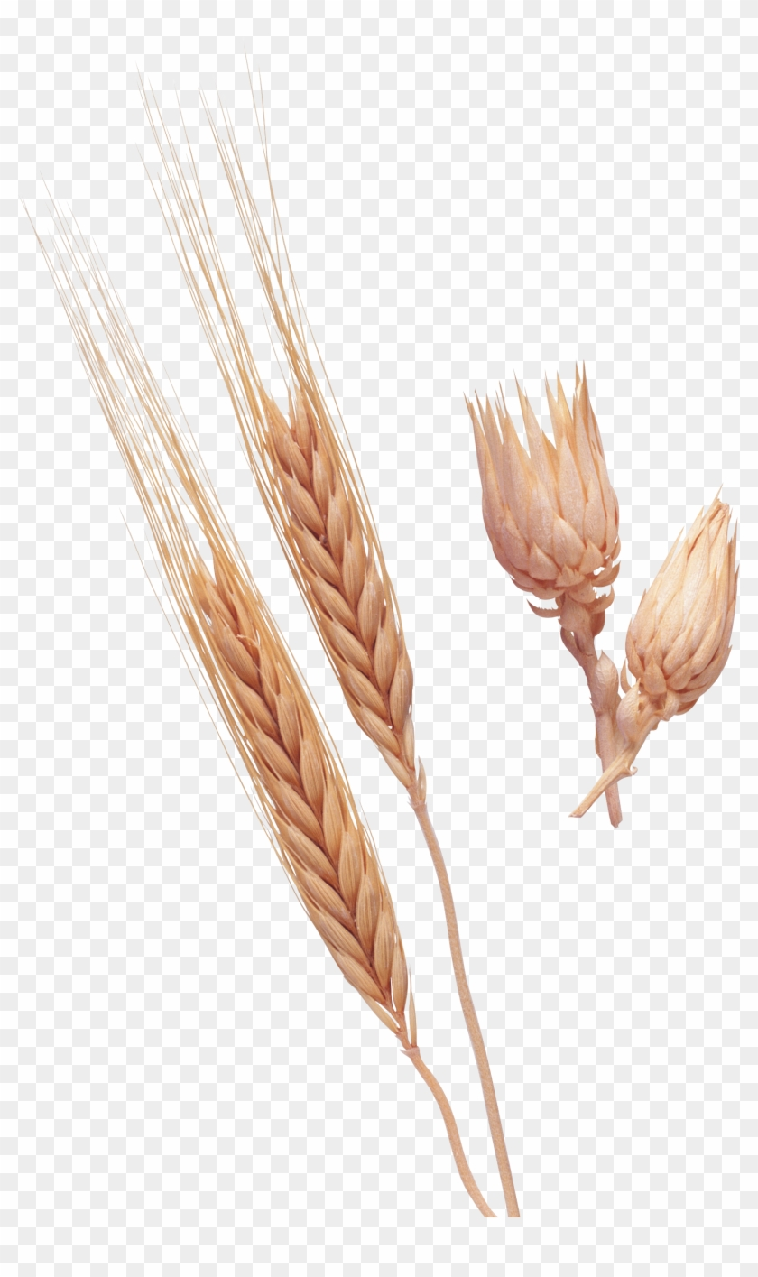 Wheat Png Image Purepng - Dinkel Wheat Clipart #2073471