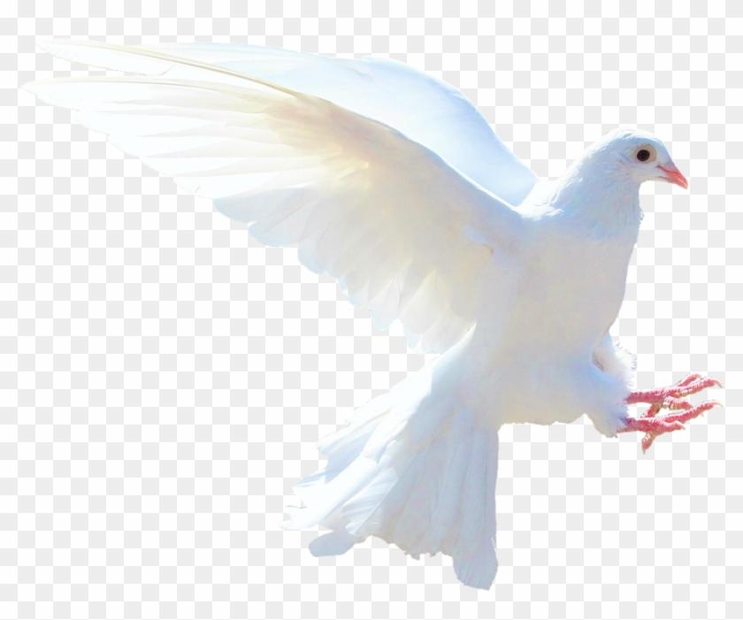 White Dove Png Gambar Burung Merpati Putih Clipart 210081