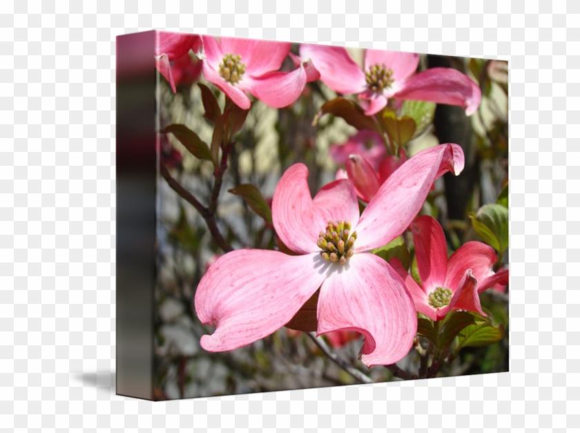 650 X 547 5 - Flowering Dogwood Clipart #2100212